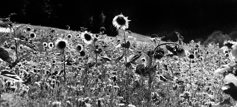 Sunflowers-3