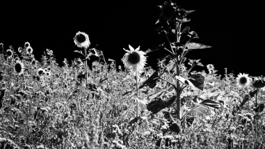 Sunflowers-6