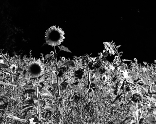 Sunflowers-7